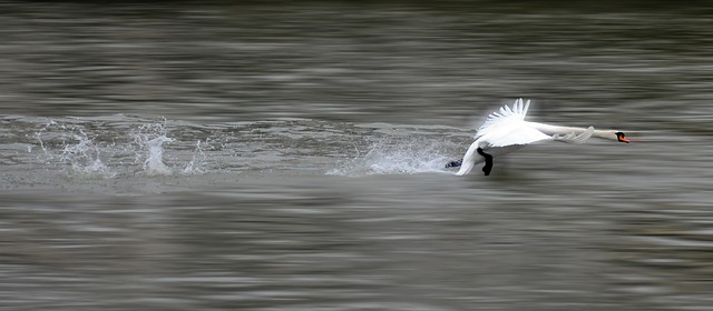 swan-630142_640